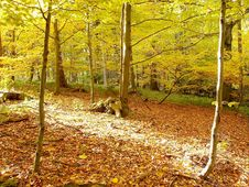 Free Autumn Beech Forest With Sun Rays Royalty Free Stock Photos - 9640648