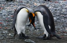 Free King Penguin Stock Photography - 9640932