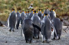 Free King Penguin Royalty Free Stock Photos - 9640948