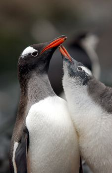 Free Gentoo Penguin Stock Photo - 9641100