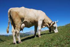 Free Cow Stock Photo - 9641300