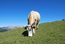 Free Cow Stock Images - 9641314