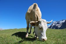 Free Cow Royalty Free Stock Image - 9641316