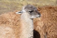 Free Young Of The Llama. Royalty Free Stock Photo - 9641585