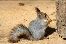 Free Squirrel Ingestion. Stock Image - 9641651