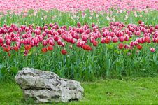 Tulips - A Bright Flower Bed. Royalty Free Stock Photos