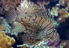 Free Lion Fish 10 Stock Photography - 9641792