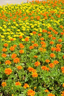 Field  Of  Marigold. Royalty Free Stock Image