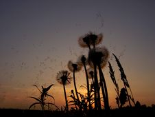 Free Dandelions At The Sunset Stock Images - 9642254