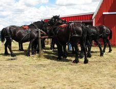 Free Percheron Horses Stock Photos - 9643033