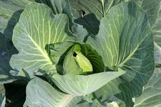 Free Green Cabbage Royalty Free Stock Images - 9643039