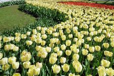 Free Bed Of Tulips Royalty Free Stock Images - 9643079