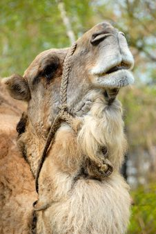 A Camel Photographed In Zoo Stock Images