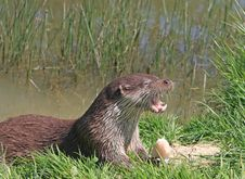 Free Animal Otter Cute Royalty Free Stock Image - 9643816