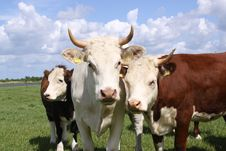 Brown And White Cows Posing For The Camera Stock Photo