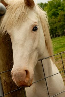 Free White Horse Royalty Free Stock Photography - 9645147