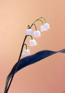 Free Lily Of The Valley Stock Images - 9645894
