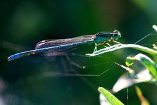 Free Damselfly Stock Photography - 9646092