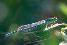 Free Damselfly Stock Photos - 9646093