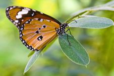 Free Butterfly Stock Image - 9647571