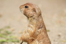 Free Prairie Dog Royalty Free Stock Photography - 9649777