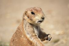 Free Prairie Dog Royalty Free Stock Photos - 9649778