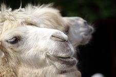 Free Camel Stock Photo - 9649780