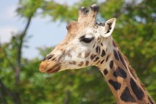 Free Giraffe Stock Photos - 9649783