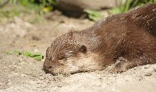 Free Otter Royalty Free Stock Image - 9649786