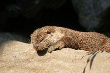 Free Otter Royalty Free Stock Photos - 9649788