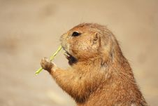 Free Prairie Dog Stock Images - 9649794