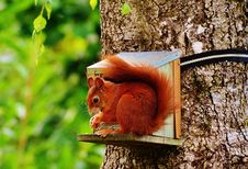 Free Brown Squirrel On Gray Wooden House On Tree Royalty Free Stock Photo - 96494555