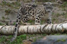 Free Snow Leopard Royalty Free Stock Photos - 96494588
