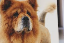 Free Brown Chow Chow Stock Images - 96494624