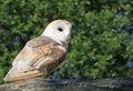 Free Bird / Barn Owl Animal Stock Photos - 9650803