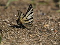 Free Scarce Swallowtail Iphiclides Podalirius Stock Images - 9655834