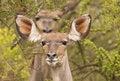 Free Kudu Stock Images - 9655864