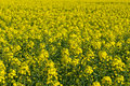 Free Field Of Rapeseed Royalty Free Stock Photo - 9659345