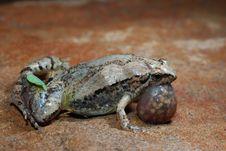 Free Frog Royalty Free Stock Photos - 9651418