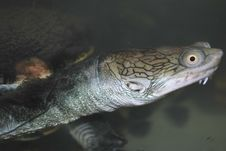 Free The Water Terrapin In The Aquarium, Macro Royalty Free Stock Photos - 9653368