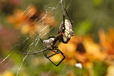 Free Garden Spider Stock Photography - 9653512