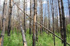 Free Burnt   Trees Stock Photos - 9653673