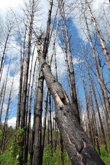 Free Burnt   Trees Stock Photos - 9653693