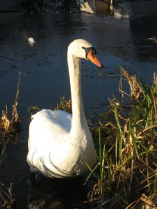 Free Swan In Reed Stock Image - 9653921