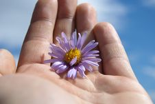 Free Marguerite Is In A Masculine Hand Royalty Free Stock Photo - 9654545
