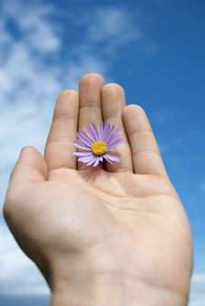 Free Marguerite Is In A Masculine Hand Royalty Free Stock Image - 9654576