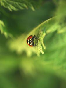 Ladybird On Leaf Stock Image