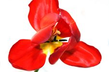 Free Unusual Red Tulips Royalty Free Stock Photo - 9655375