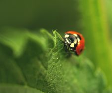 Ladybird On Leaf Royalty Free Stock Image