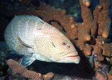 Free Tiger Grouper Stock Image - 9655821